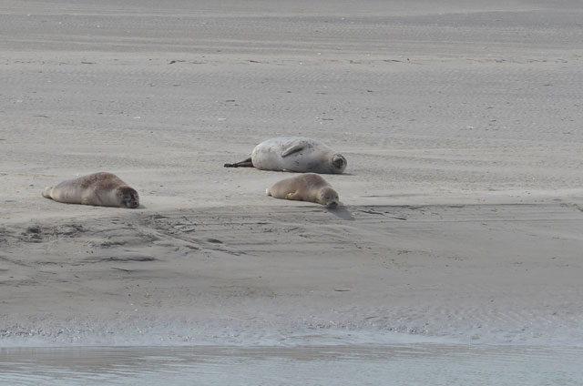 seals in bay of somme